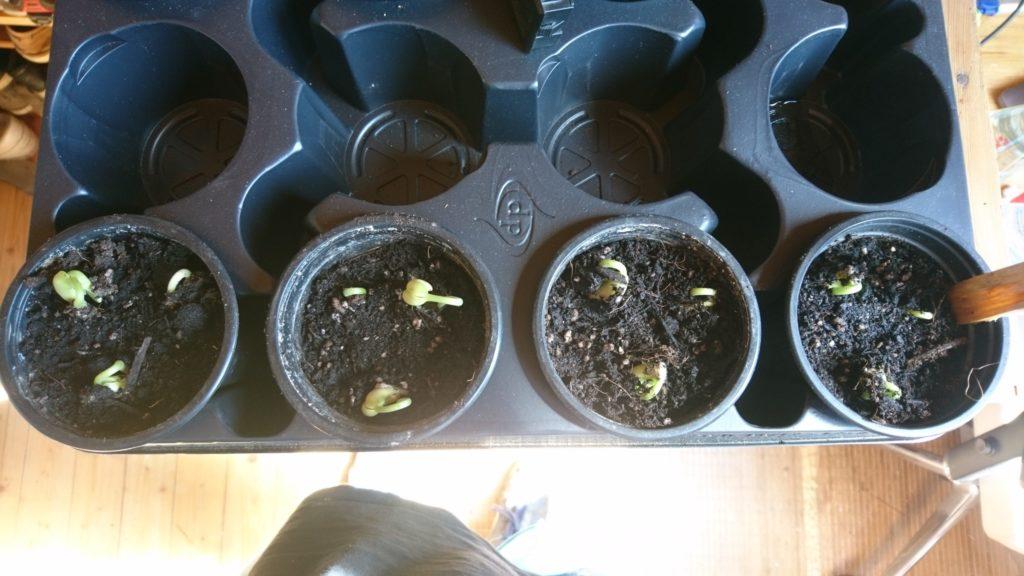 Dritte Bohnenreihe mit wenig Wasser und flach gelegt: Erfolgsquote 100%