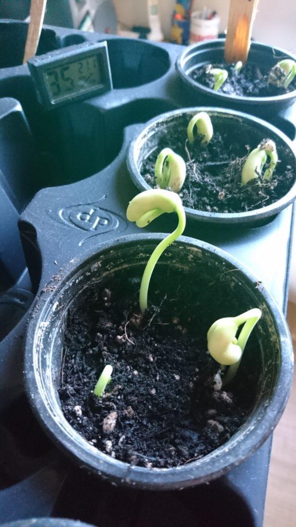 Am 5. Tag stehen schon die ersten grünen Pflänzchen
